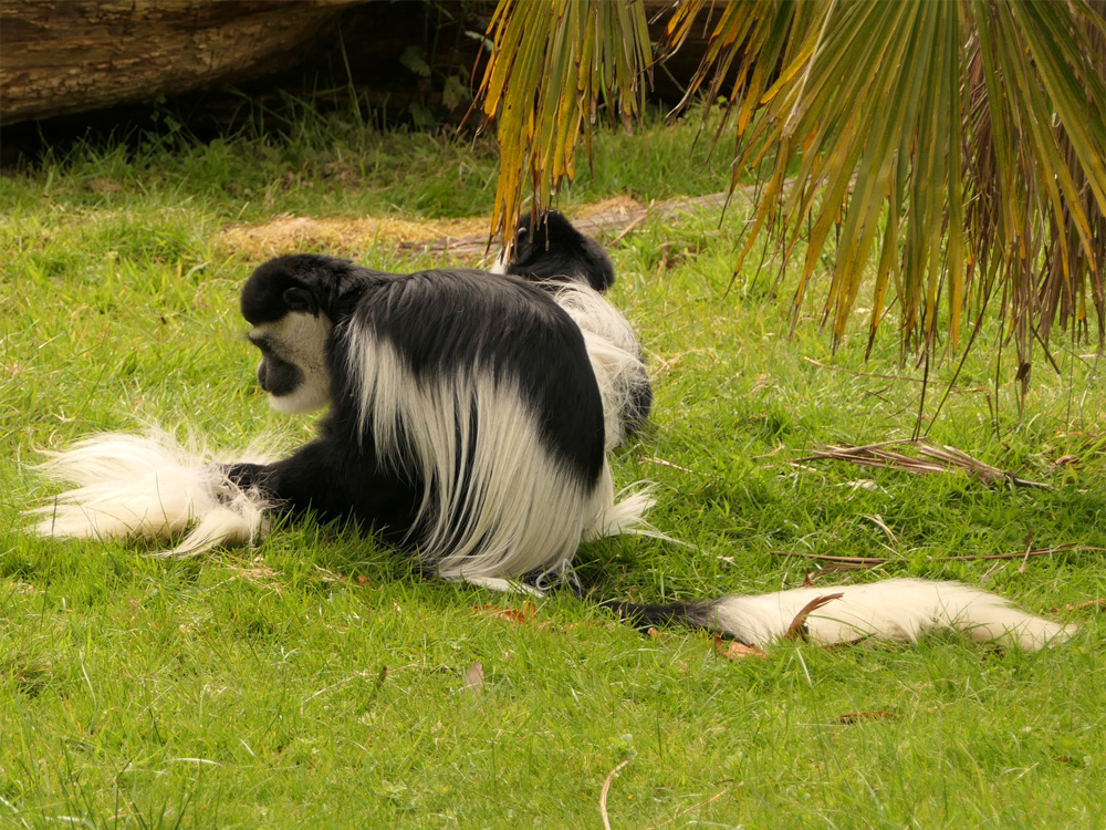 106 008 006 002 colobus guereza bourbansais PD1