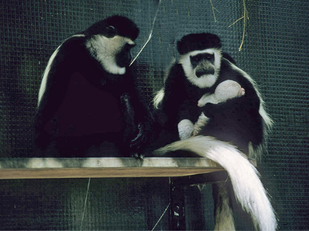 106 008 006 002 colobus guereza bsl guiliani