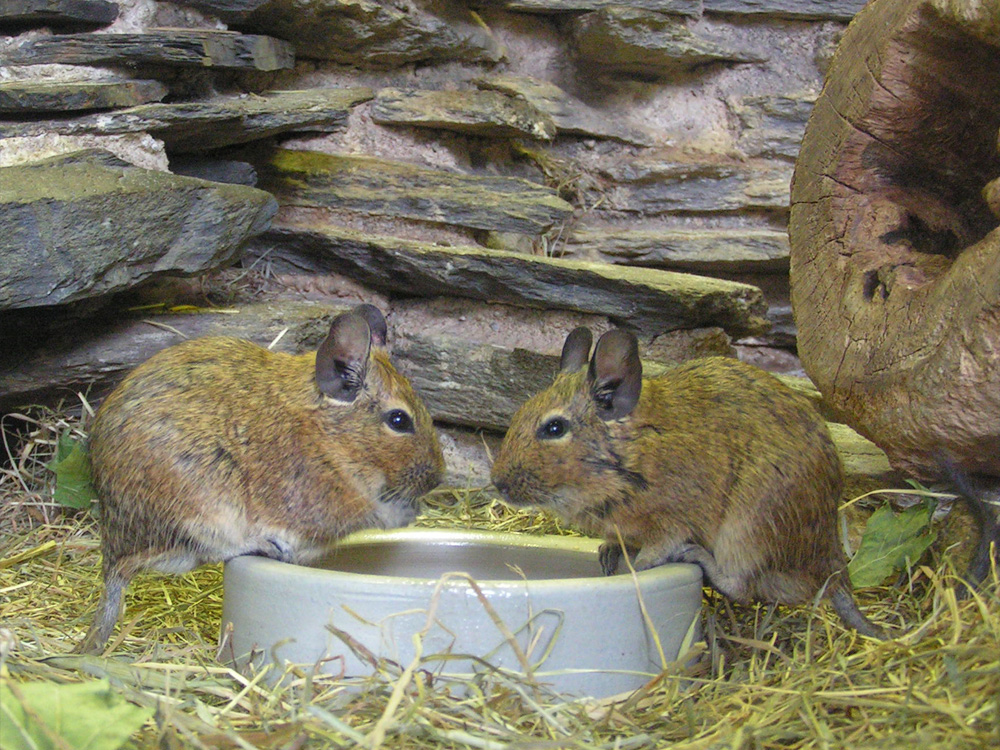 110 026 002 002 octodon degu hof PD1