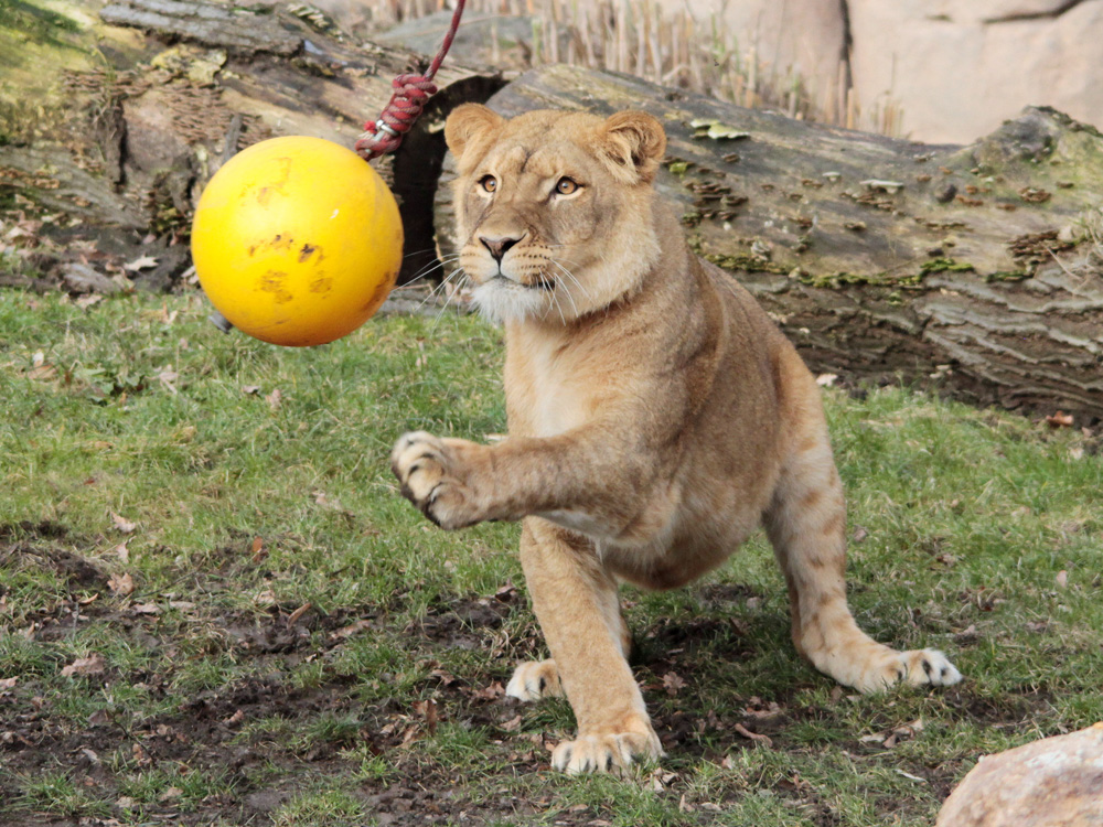 112 007 002 001 panthera leo f ball leipzig zoo1