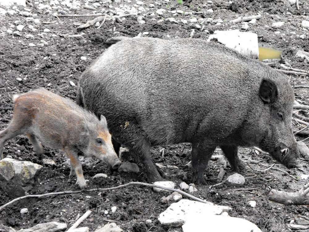 119 001 005 003 sus scrofa PeterPaul PD1
