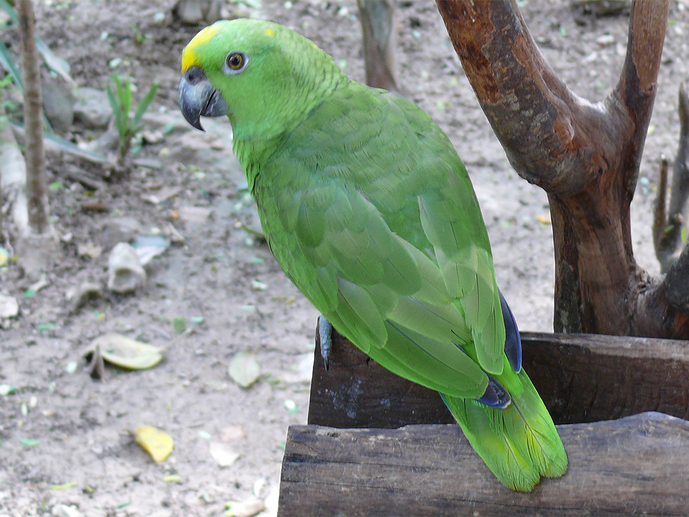 218 003 005 019B amazona auropalliata xcaret PD2