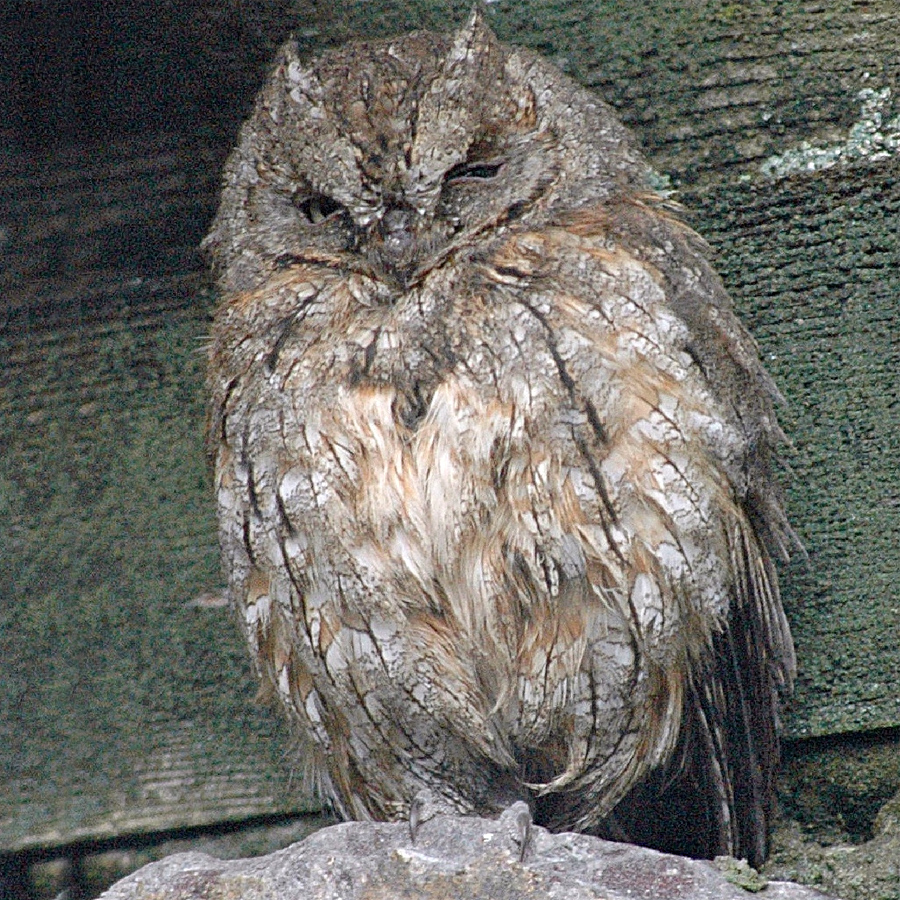 220 002 016 030 otus scops HD KR1