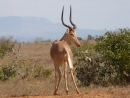 Hirola (Beatragus hunteri) im Tsavo-Ost-Nationalpark