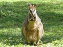 Sunpfwallaby-Weibchen (Wallabia bicolor) im Gorge Wildlife Park, Cudlee Creek SA
