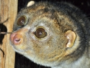 Potto (Perodicticus potto) im Zoo Berlin