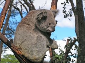 Koala (Phascolarctos cinereus) im Currumbin Wildlife Sanctuary, Queensland