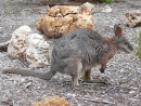 Tammarwallaby beim Kangaroo Island Wilderness Retreat, Südaustralien
